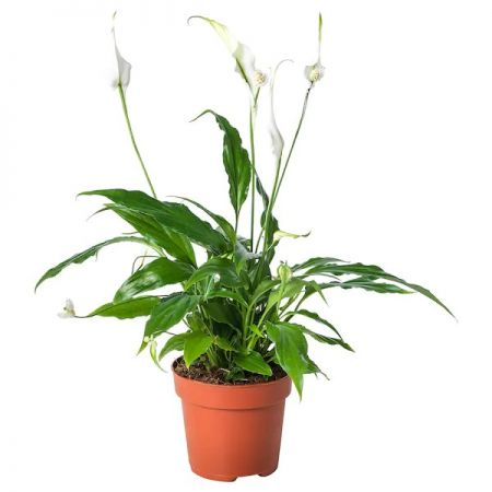 Lepelplant / Spathiphyllum Orlando (air so pure)